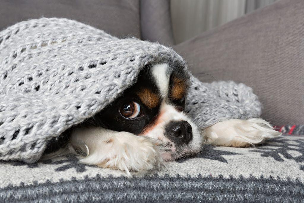Dog cuddled in blanket