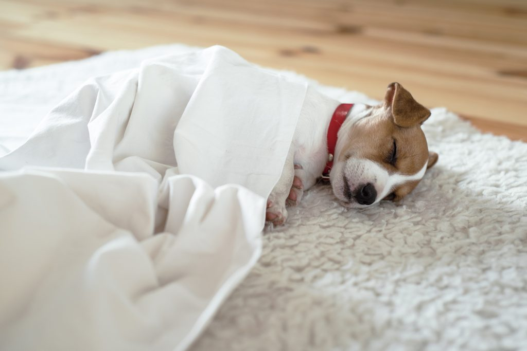 Puppy sleeping beneath blanket