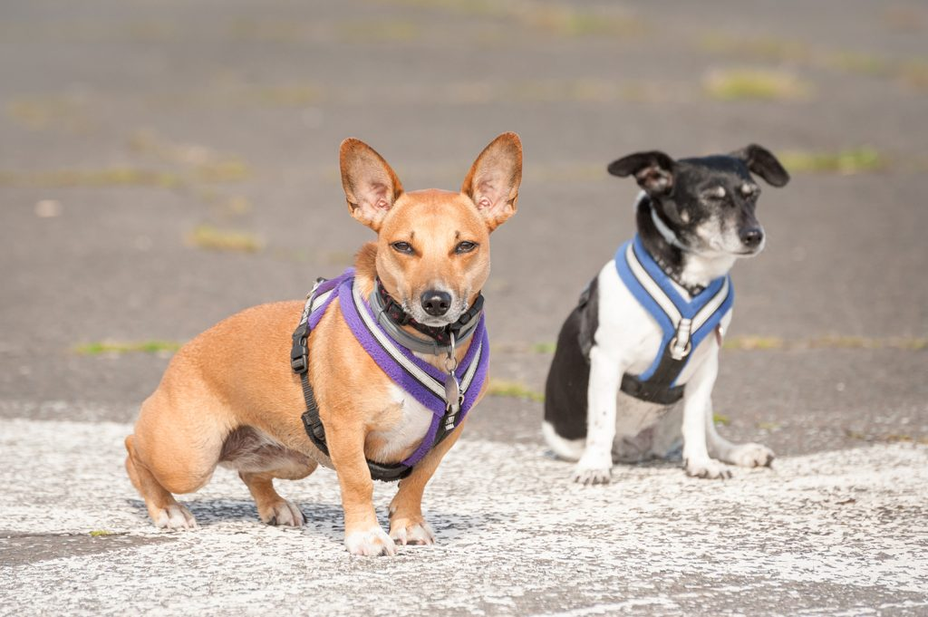 Small dogs in harnesses