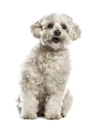 Havanese puppy (alt/title)